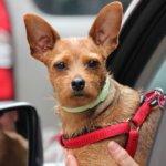 Foto ilustrativa en la que aparece un perro pequeño con un arnés asomado por la ventana del coche.